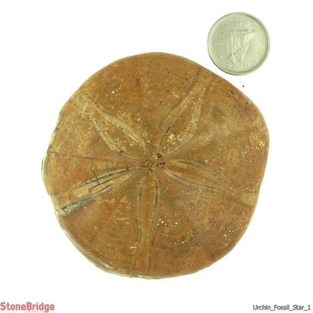 Urchin Fossil - Size #1