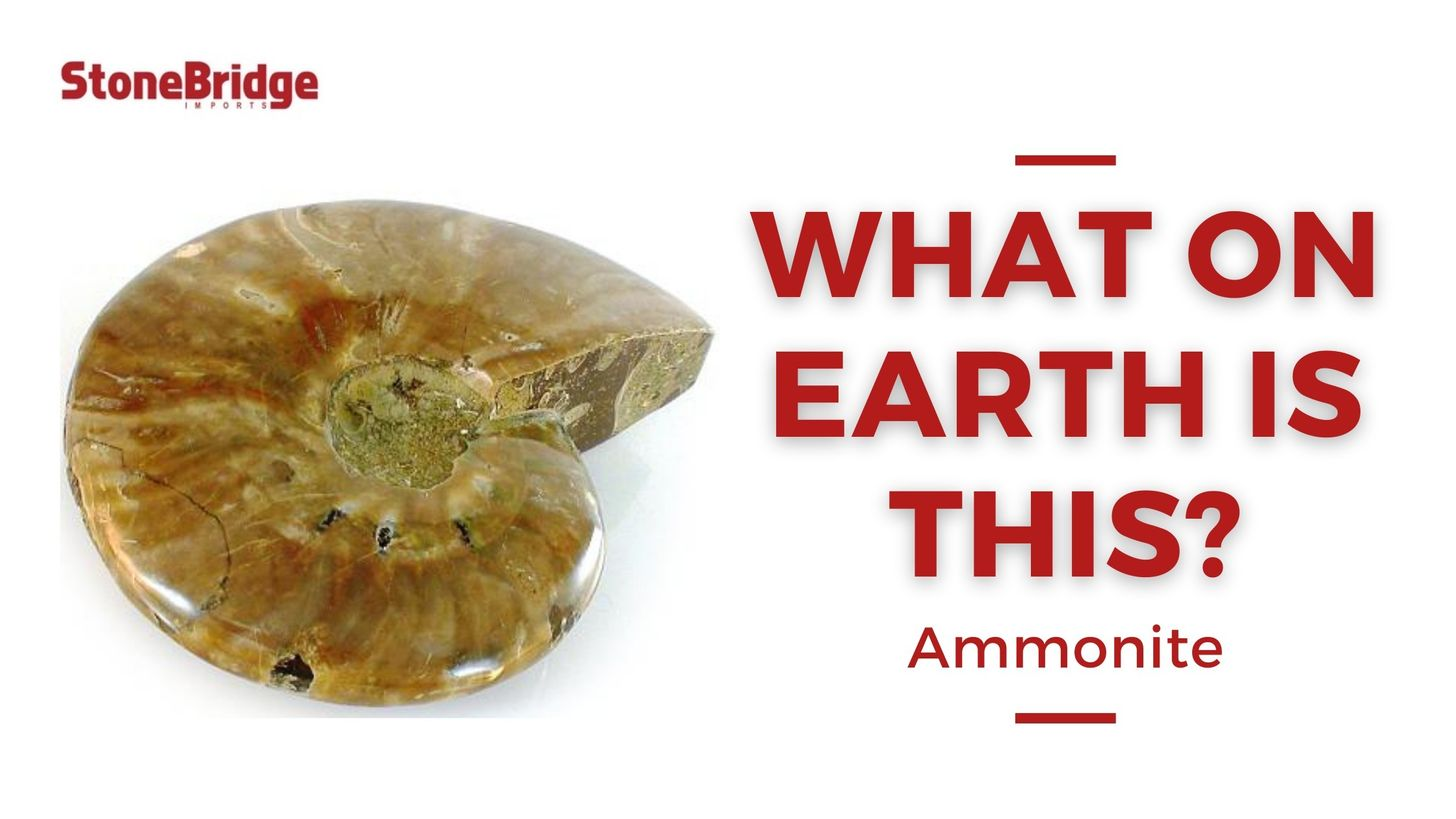 Ammonite2.jpeg