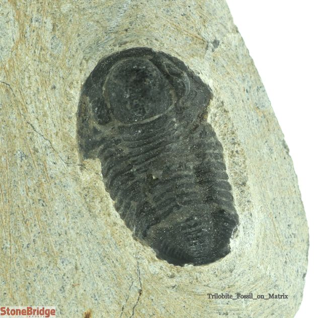 Trilobite Fossil on Matrix